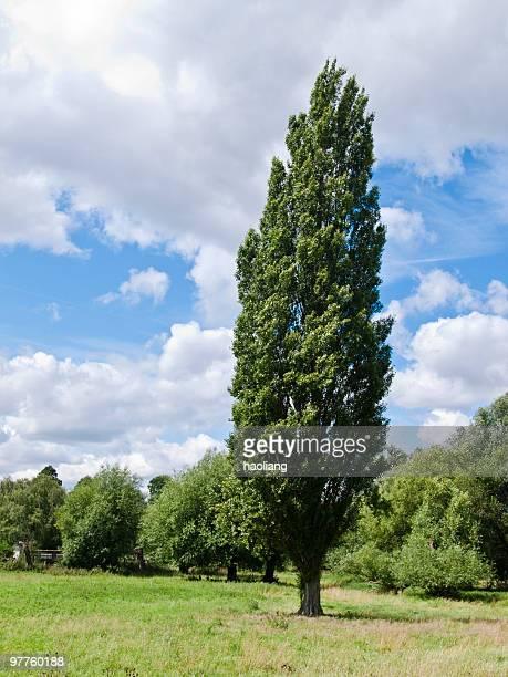 1 つのポプラの前に他の木