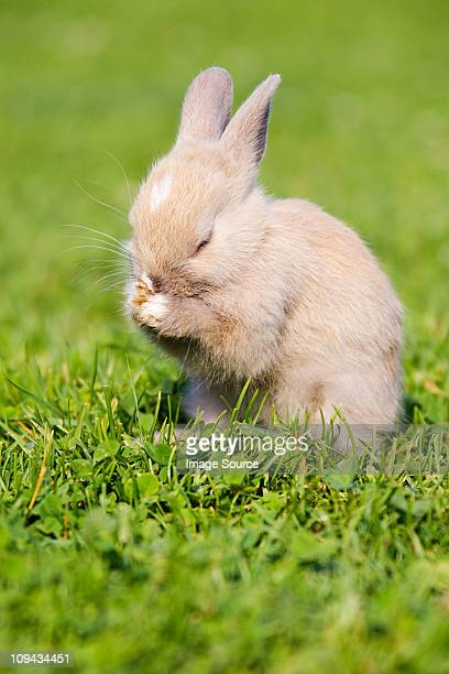 One rabbit sitting on grass cleaning itself