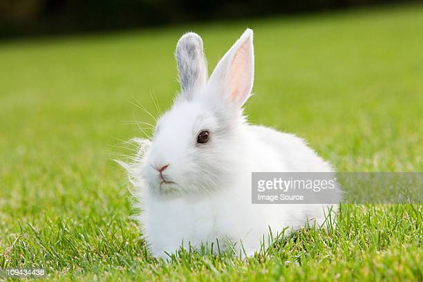 one rabbit sitting on grass - white rabbit stock pictures, royalty-free photos & images