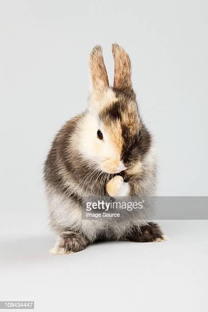 One rabbit, studio shot