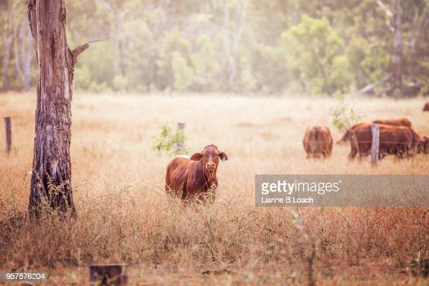 one red calf - lianne loach - fotografias e filmes do acervo