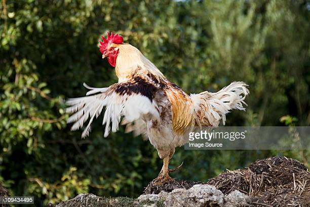 One rooster standing, flapping wings