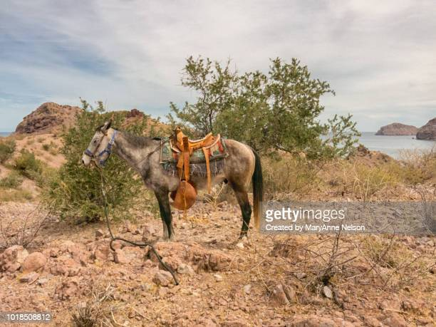 one saddled baja mule - mexican riding donkey stock photos and pictures
