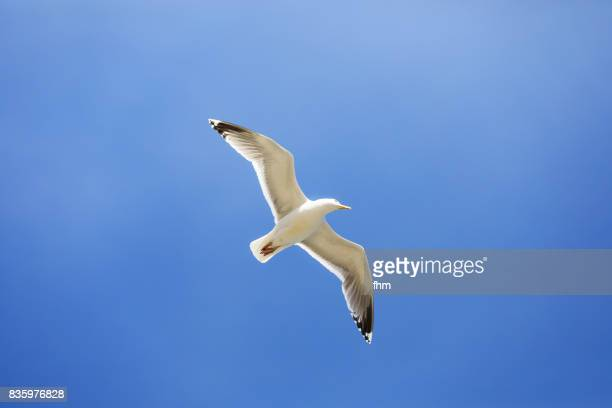 One seagull in the sky (Baltic sea/ Germany)