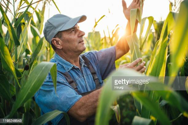 one senior farmer is examining corn - may stock pictures, royalty-free photos & images