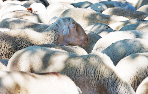 One sheep, looking out of the herd