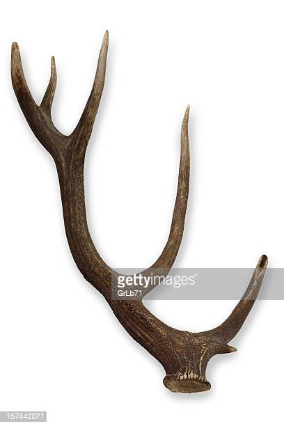 One single moose antler on a white background