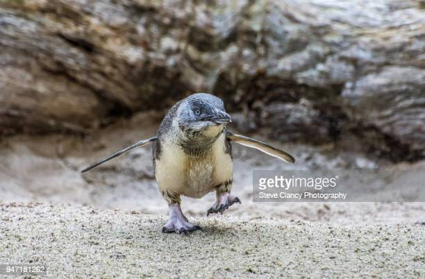 one small step - little blue penguin stock photos and pictures
