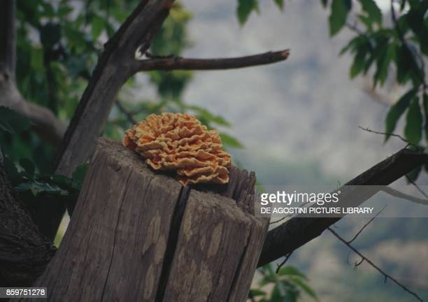 One specimen of crabofthewoods sulphur polypore sulphur shelf or chickenofthewoods Polyporaceae