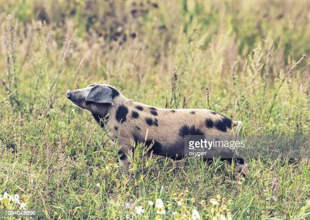 One spotted pig staiyng in the green grass