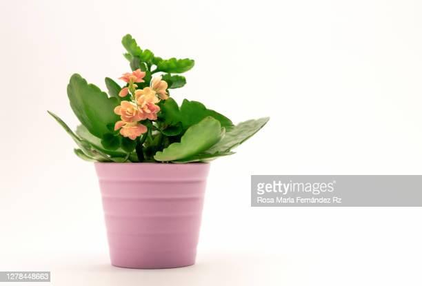 one succulent in plant with flowers in pink pot on white background. - belleza de la naturaleza fotografías e imágenes de stock