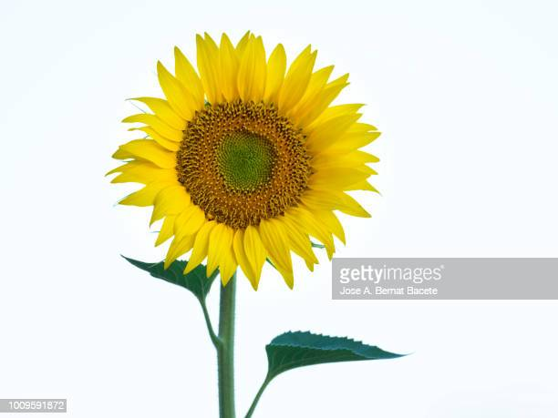 one sunflower blossoms brightly lit by the sun in the field, spain - sunflower stock pictures, royalty-free photos & images