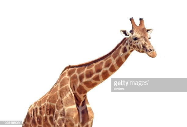One tall Giraffe animal isolated on white background Copy space