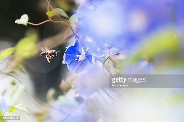one tropical honey bee with purple morning glory. - mazzi fiori di campo foto e immagini stock
