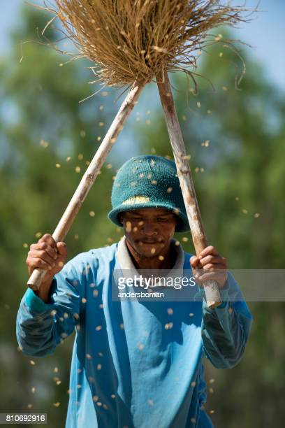 one unidentified farmer harvests rice alone on a sunny day in a rice field in thailand - threshing stock photos and pictures