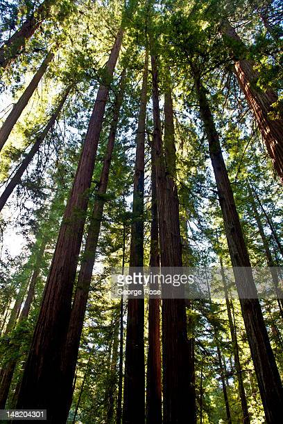 One way to beat the heat was to walk among the old growth redwood trees in Armstrong Woods State Park on June 13 in Guerneville California Warm sunny...