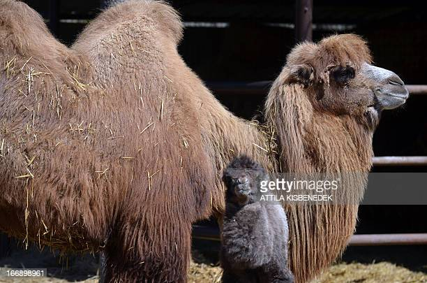 A one week old camel baby 'Zsolti' stands with its mother 'Gobi' in the local animal garden of Szeged Hungary on April 18 2013 The camel colt was...