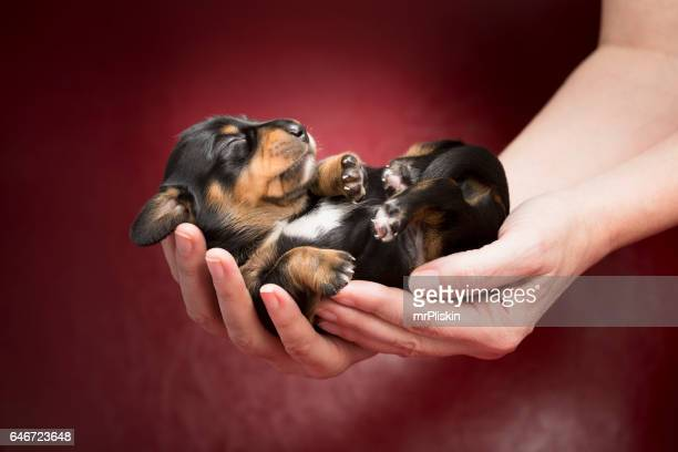 one week old dachshund puppy sleeping in human hands - pure bred dog stock pictures, royalty-free photos & images
