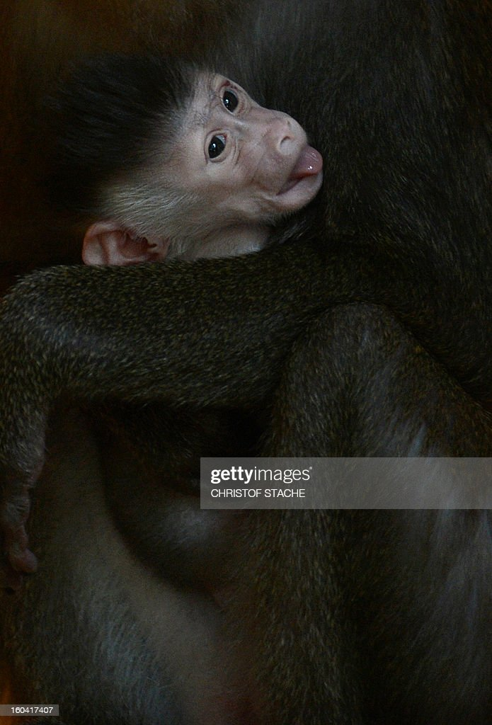 A one week young Drill baby is held by its mother Kaduna in the primate enclosure in the zoo of Munich Hellabrunn, southern Germany, on January 31, 2013. The Drill monkey baby was born in the zoo on January 24, 2013. The Drill's are in danger of extinction in Africa.