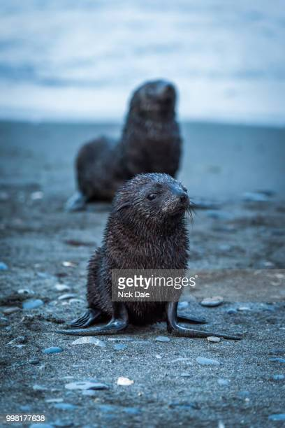One wet Antarctic fur seal behind another