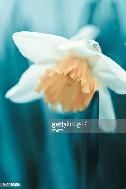 one white narcissus flower on blue background closeup - narcissus mythological character stock photos and pictures