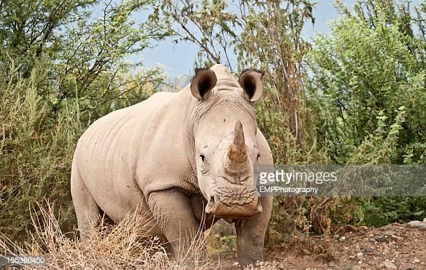 One White Rhino