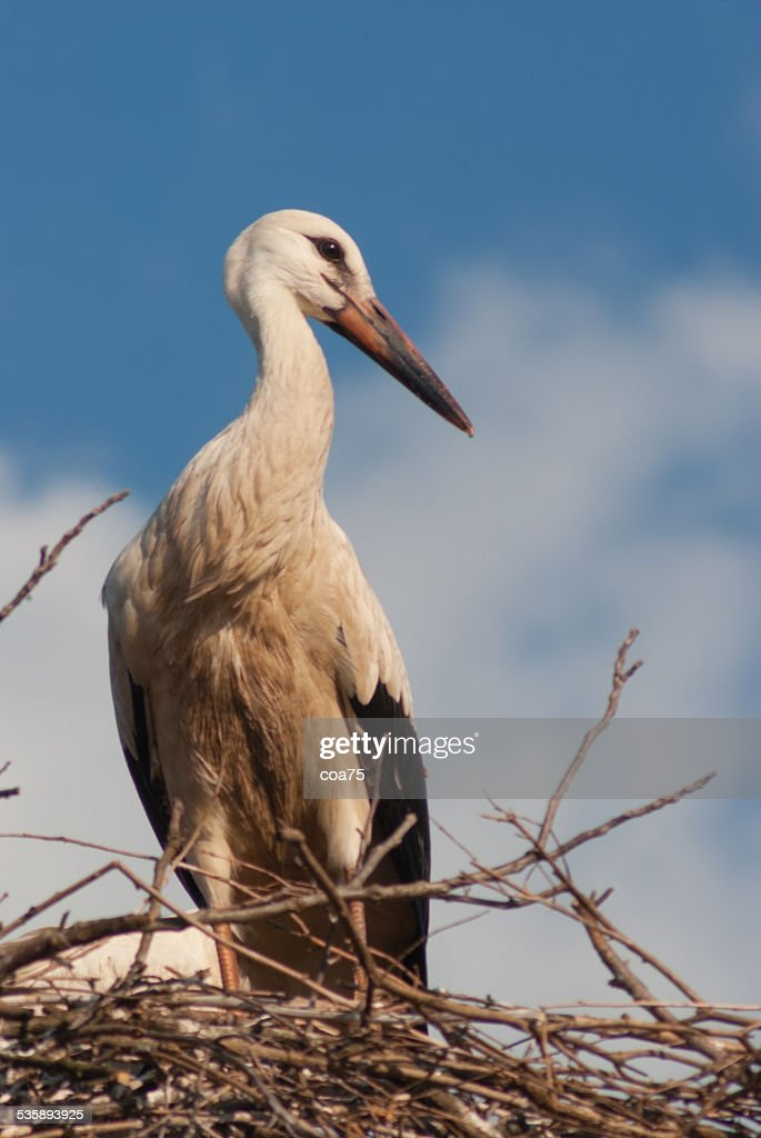 One white stork : Stockfoto