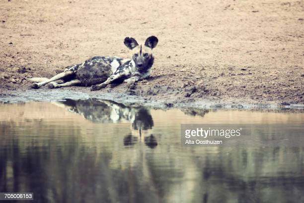 One wild dog rest next to a waterhole to drink some water
