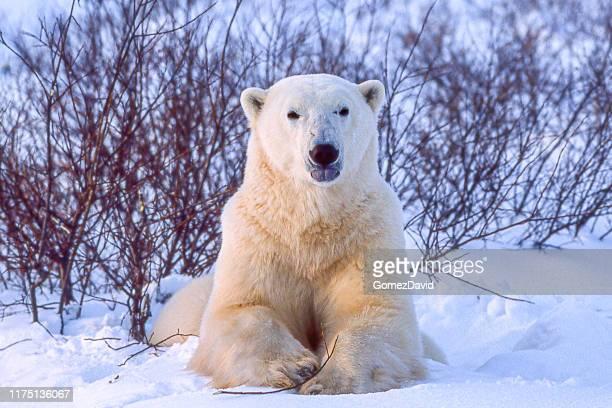 one wild polar bear in churchill willows - polar bear stock pictures, royalty-free photos & images