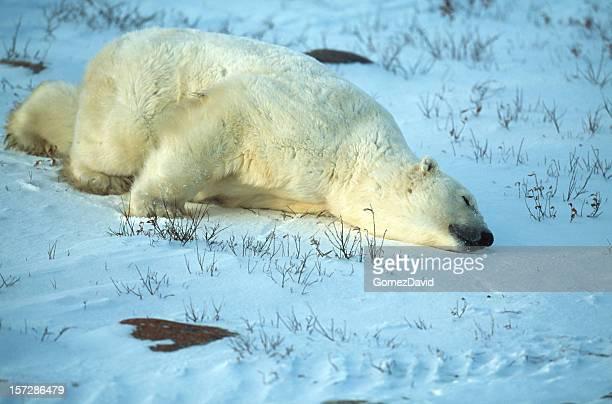 One Wild Polar Bear Lying on Icy Hudson Bay Shore