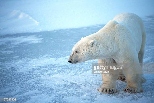 One Wild Polar Bear Standing on Icy Hudson Bay
