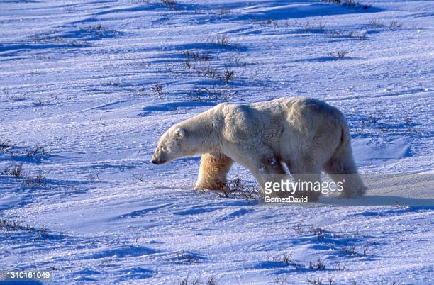 one wild polar bear walking on icy hudson bay - pack ice stock pictures, royalty-free photos & images