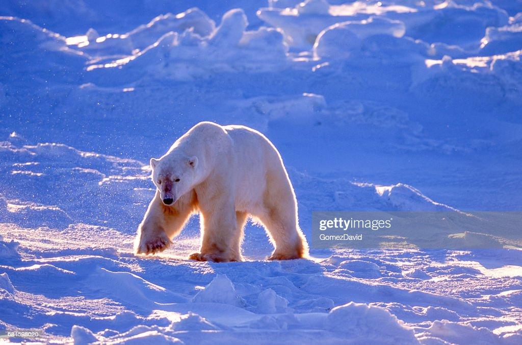 One Wild Polar Bear Walking on Icy Hudson Bay : Stock Photo