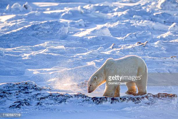 one wild polar bear walking on snowy hudson bay shore - mammal stock pictures, royalty-free photos & images
