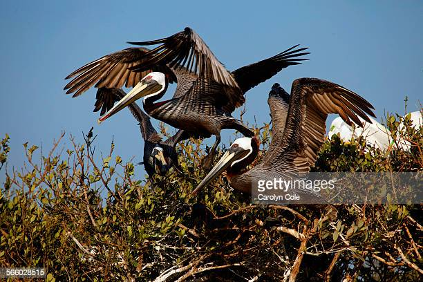 BAY LOUISIANA––APRIL 2011––One year after Deepwater Horizon accident brown pelicans are beginning to nest on Cat Island one of the main rookeries...