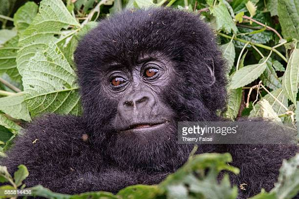 One year old baby mountain gorilla plays in the jungle of the Virunga National Park. The primate shares 98% of its DNA with the human being. Virunga...