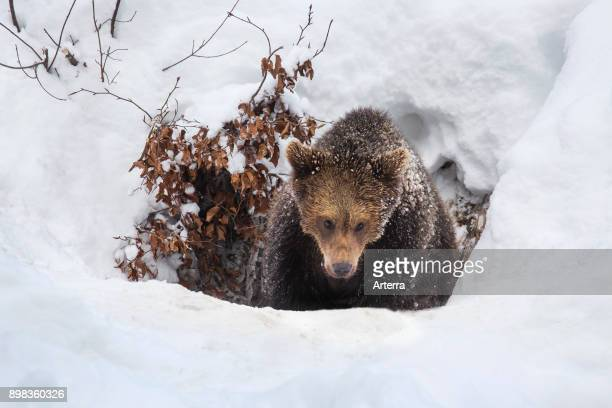 One year old brown bear cub emerging from den in the snow in winter.
