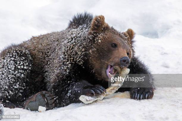 One year old brown bear cub gnawing on knuckle bone in the snow in winter