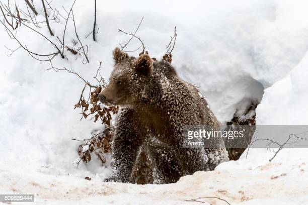 One year old brown bear cub leaving den in the snow in winter.