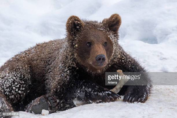 One year old brown bear cub playing with knuckle bone in the snow in winter