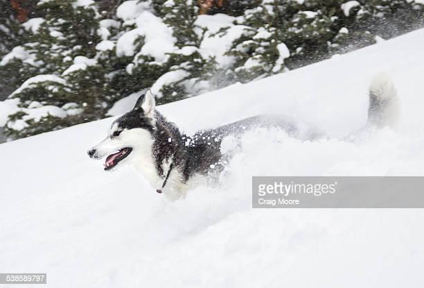 A one year old SiberianHusky runs in deep down in the Beehive Basin near Big Sky, Montana.