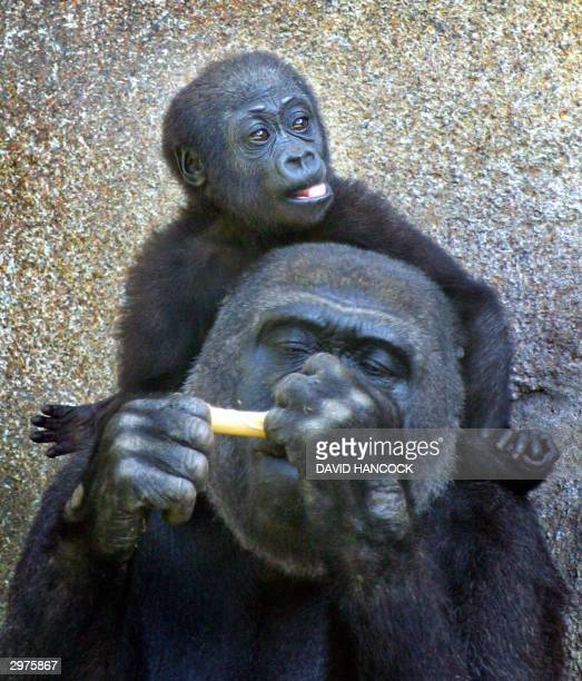 One year old western lowland gorilla Mbeli sits the shoulders of her mother Mouila at Taronga Zoo in Sydney 13 February 2004 Mbeli was born on...