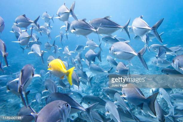 one yellow fish in sea of blue fish - school of fish stock pictures, royalty-free photos & images