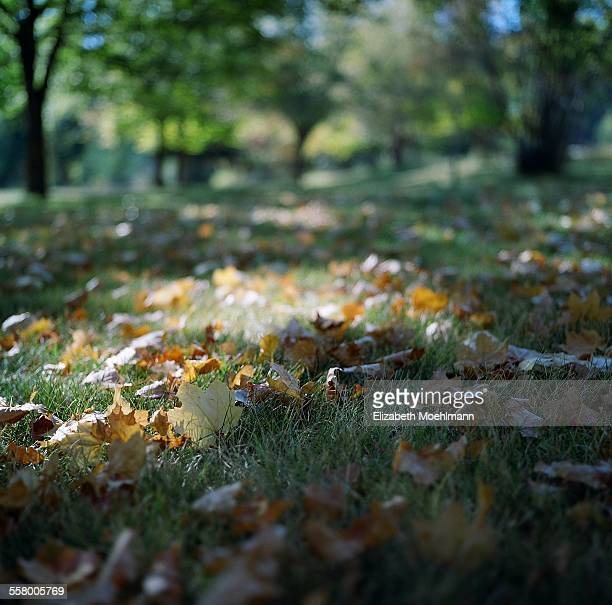 One yellow leaf stands out on leaf covered grass