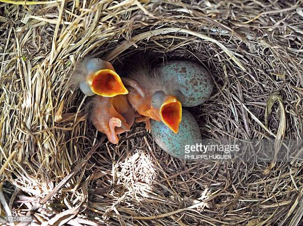 Oneday old chicks of a song thrush wait for beakfull on June 12 in a private garden in Godewaersvelde northern France AFP PHOTO / PHILIPPE HUGUEN/STF
