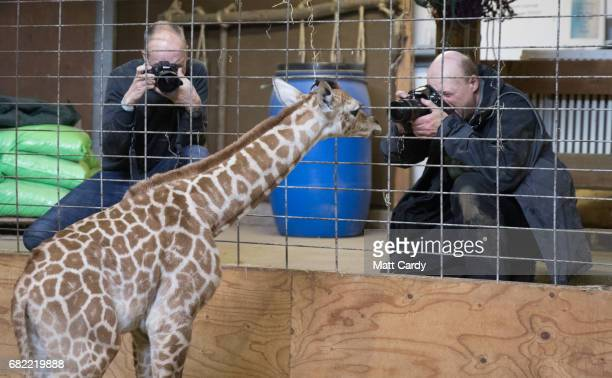 Onedayold baby giraffe calf Gus looks at photographers at Noah's Ark farm on May 12 2017 in Bristol England The baby giraffe was born yesterday at...