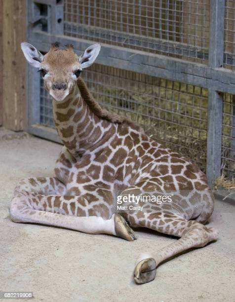Onedayold baby giraffe calf Gus sits in his enclosure at Noah's Ark farm on May 12 2017 in Bristol England The baby giraffe was born yesterday at the...