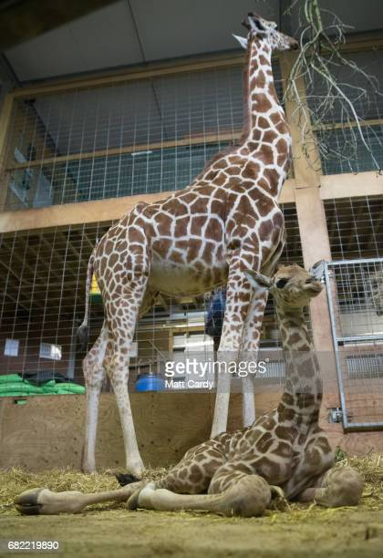 Onedayold baby giraffe calf Gus sits with his mother Genny at Noah's Ark farm on May 12 2017 in Bristol England The baby giraffe was born yesterday...