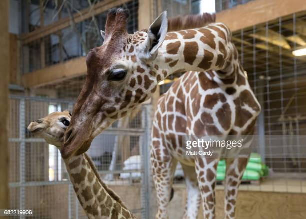 Onedayold baby giraffe calf Gus stands besides his mother Genny at Noah's Ark farm on May 12 2017 in Bristol England The baby giraffe was born...