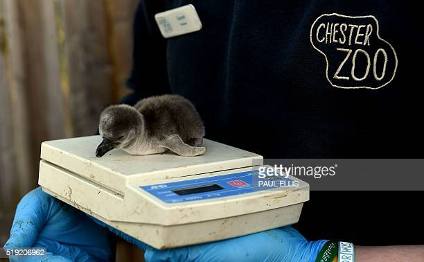 Onedayold baby Humboldt penguin 'Frazzle' is weighed at the penguin enclosure at Chester Zoo in Chester north west England on April 5 2016 The zoo...